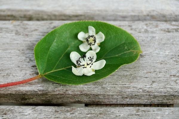 Feuille et fleur de nergi ©EQRoy - shutterstock