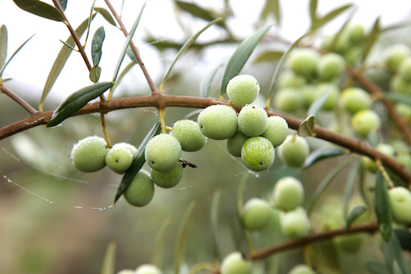 Olives Arbequina ©erinmalonemedia shutterstock