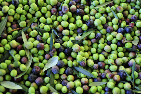 Olives Arbequina après récolte ©nito shutterstock