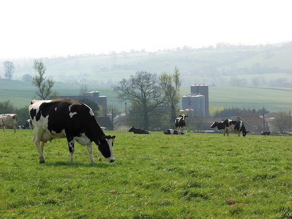 Vaches ©Wyke Farms