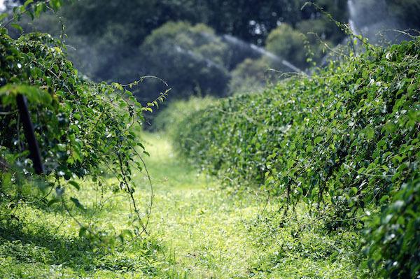 Vergers d'Actinidia arguta - La liane qui donne les nergi®