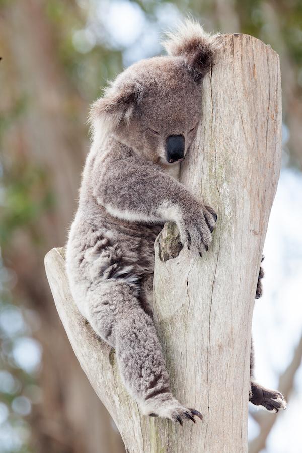 Koala ©mark higgins shutterstock