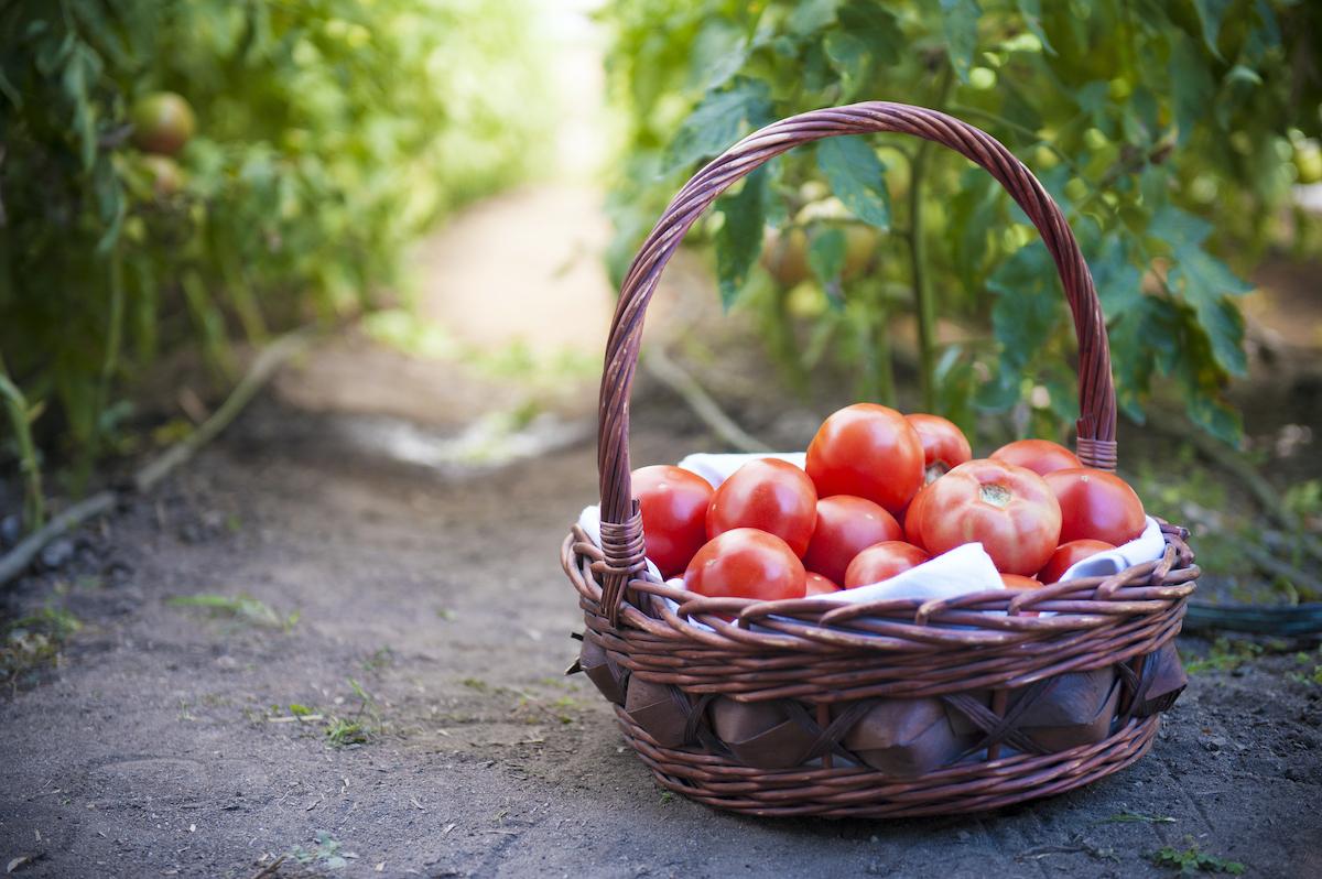Panier-de-tomates-©-Studio46-Photography-shutterstoc
