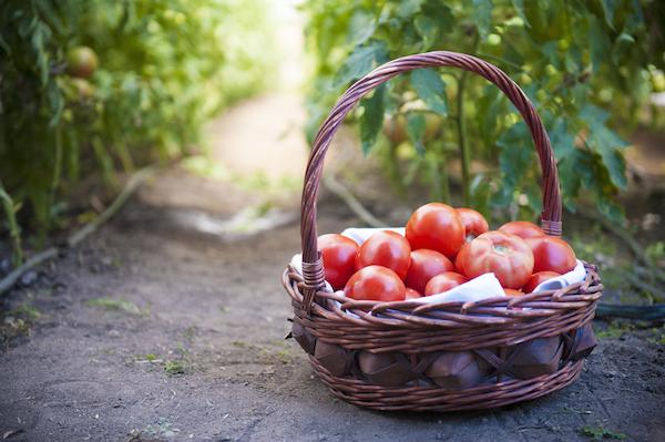 Panier de tomates ©dias46 shutterstock
