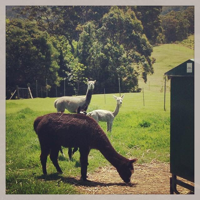 Nouveaux amis australiens ; les alpagas