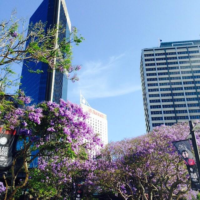 Jacaranda - Merveilleux arbres à fleurs mauves - Sydney, Australia