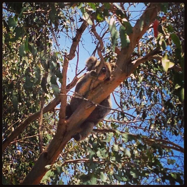 Koala - Kangaroo Island