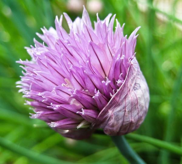 Fleur de ciboulette (c) Monteregina CC BY-NC-SA 2.0