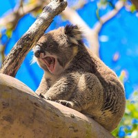 Koala - Victoria's Great Otway National Park ©greatoceanroad