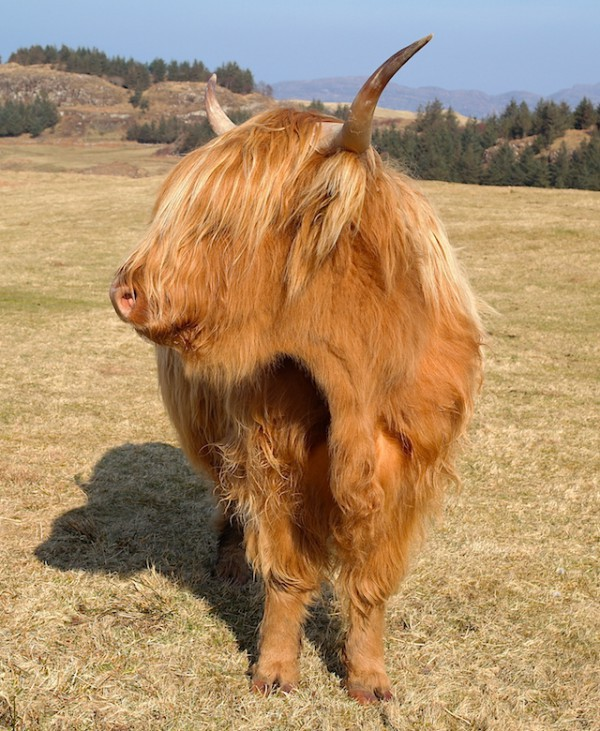 Coiffure incroyable des Highland Cattle