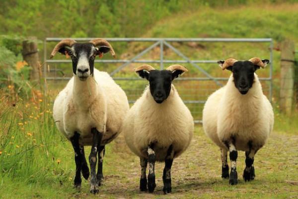 Les moutons à tête noire de Glengorm Castle