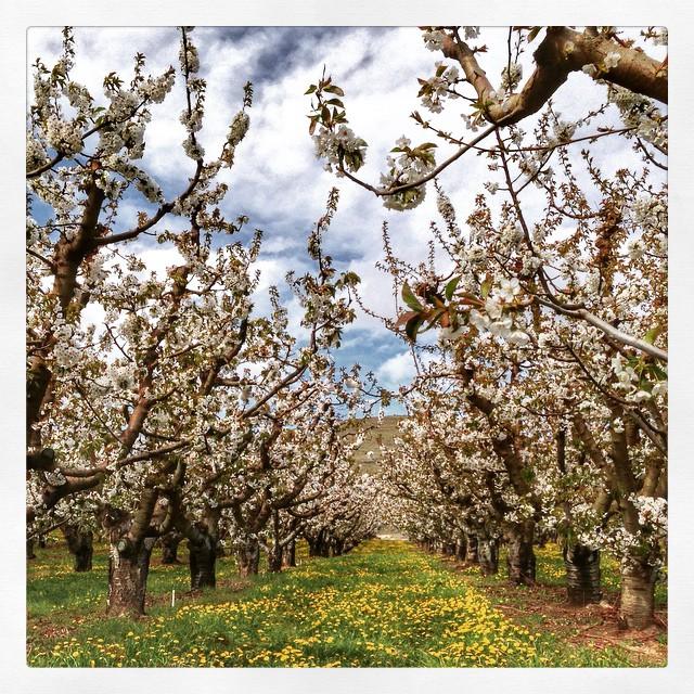 L'état de Washington et ses cerisiers en fleurs