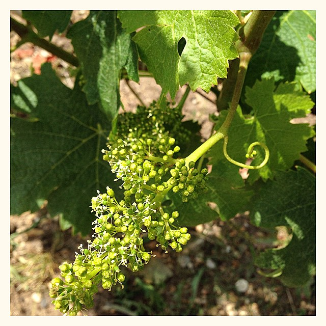 Fleur de vigne et mini grappe