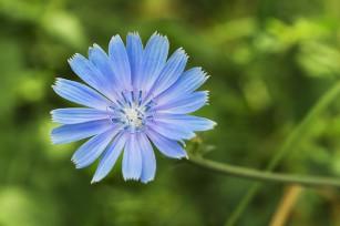 Fleur de chicorée ©GeniusKp shutterstock