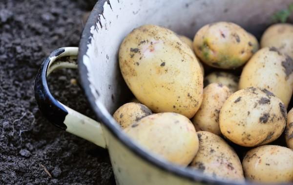 Pommes de terre nouvelle ©Nataliia Melnychuk shutterstock