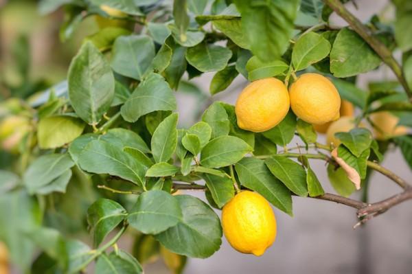 Citronnier ©Serenarossi - Shutterstock