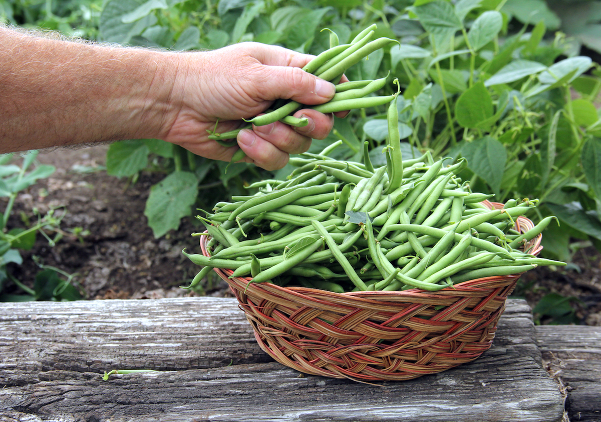 Haricots verts ©dcwcreations shutterstock