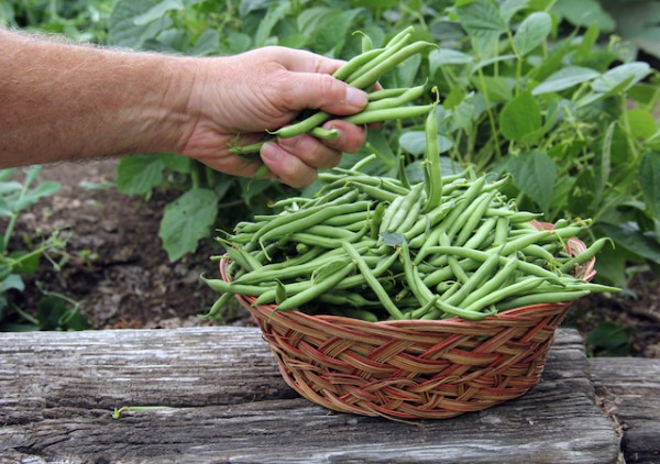 Haricots verts (c) dcwcreations shutterstock