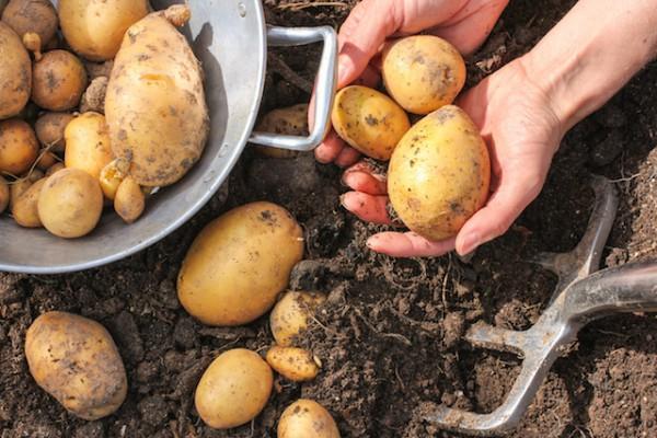 Pommes de terre (c) Marina Lohrbach shutterstock
