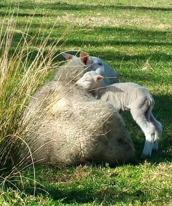 Pecora Dairy Australie