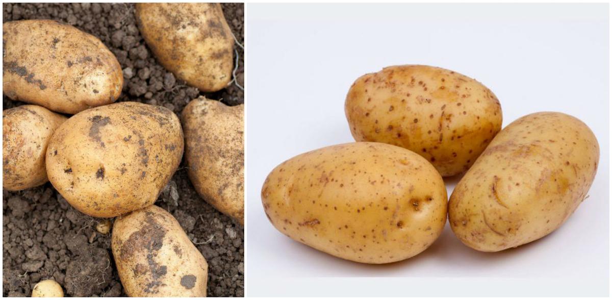 Pommes de terre Samba