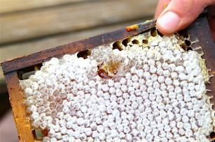 Alvéoles pleines de miel