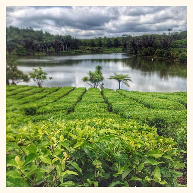 Plantation de thé - Bois chéri - Ile Maurice