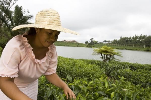 Cueillette du thé à Bois Chéri
