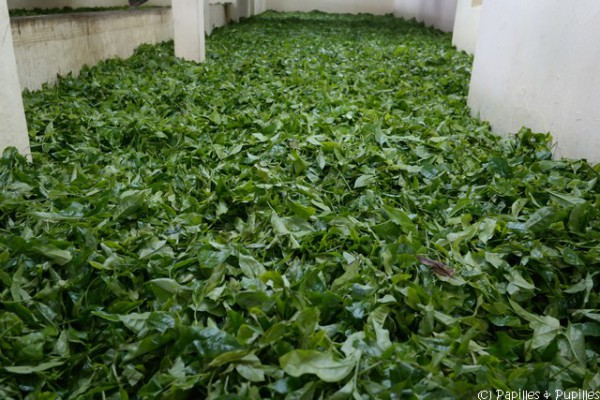 Flétrissage des feuilles de thé