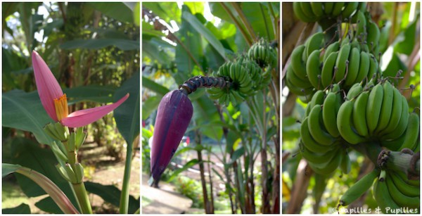 Banane - de la fleur aux fruits