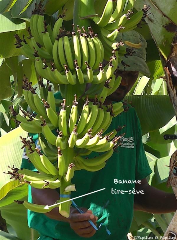 Banane tire sève