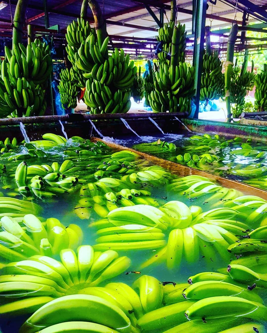 Bananes - Habitation Belfort