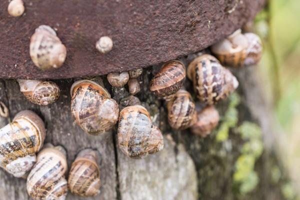 Escargots Petit gris (c) CBCK shutterstock