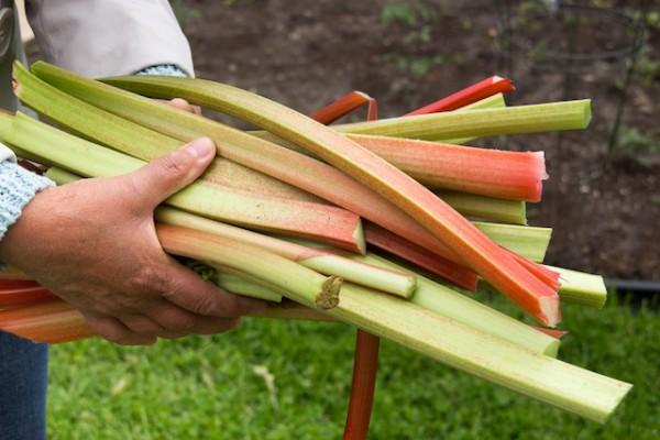 Rhubarbe (c) julie deshaies shutterstock