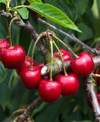 Cerisier (c) Maleo shutterstock