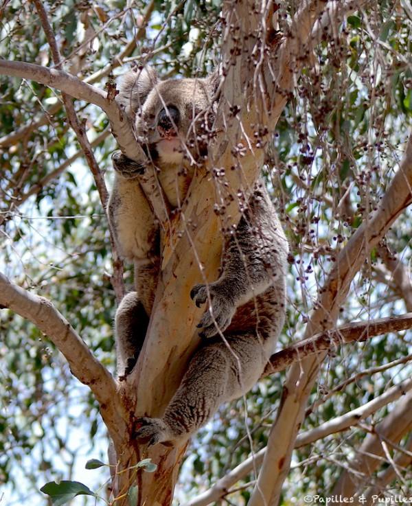 Koala à l'état sauvage dans un eucalyptus - Kangaroo Island - Australia