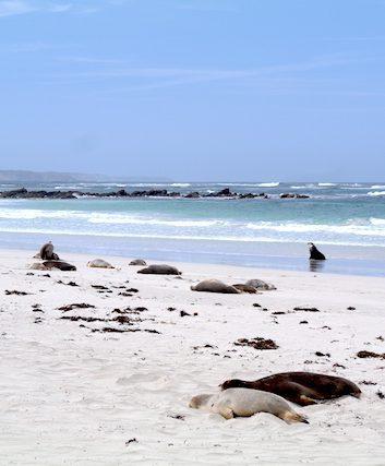 Lions de mer - Kangaroo Island - Australie - 11 nov 2014