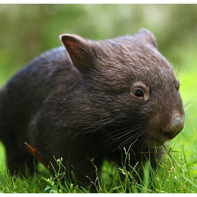 Les wombats, c'est trop mignon