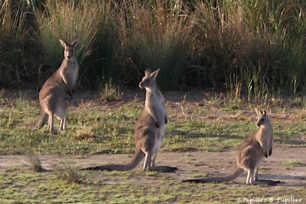 Kangourous - Yarra Valley