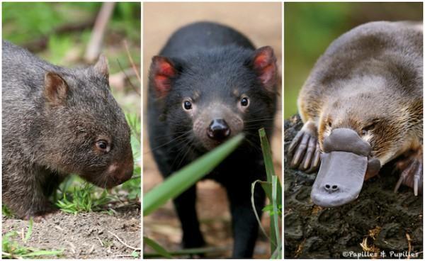 wombat - Diable de Tasmanie - Ornithorynque