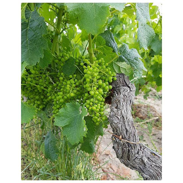Le saviez-vous ? Un cep de vigne = une bouteille de vins