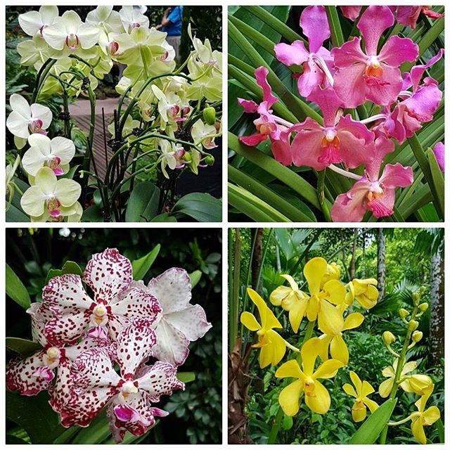 Orchidées - Jardin botanique - Singapour