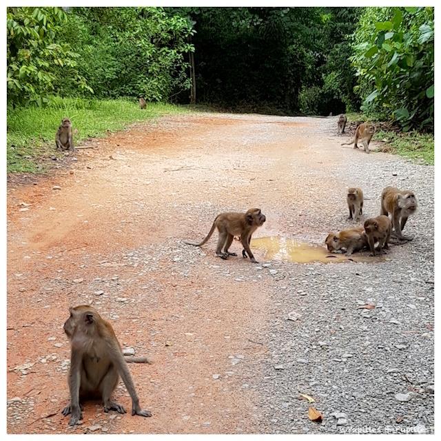 Les singes de Pulau Ubin
