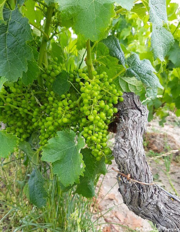 Vignes Château Pedesclaux