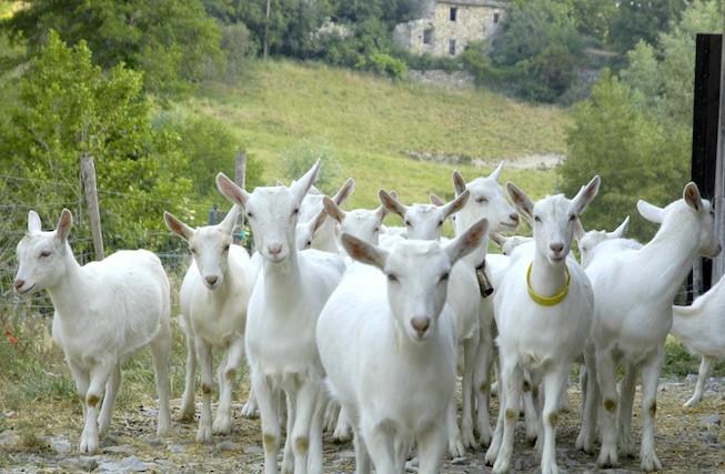 Chèvres - (c) AOP Picodon