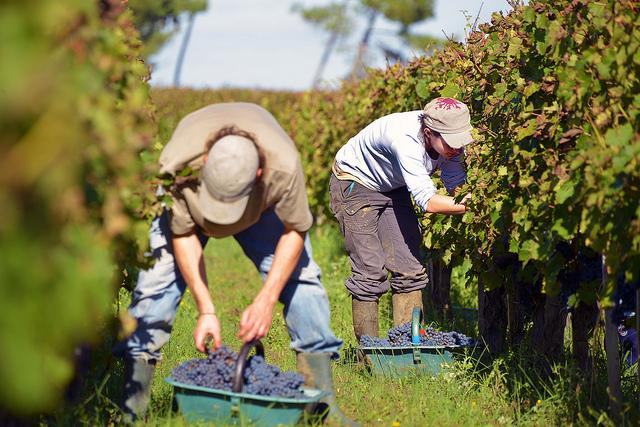 Vendanges à Blaye (c) Côtes de Bordeaux CC BY-SA 2.0