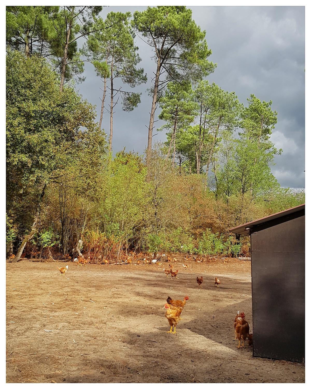 Poulets en liberté St-Sever