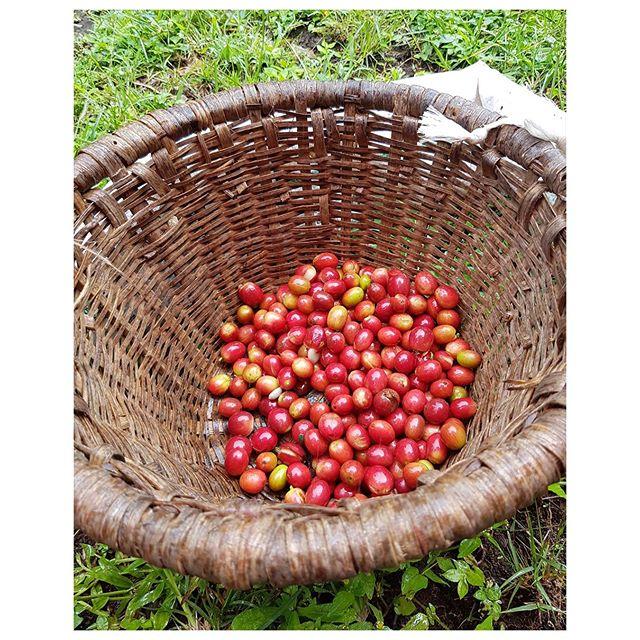 Ma récolte de grains de café au Costa Rica