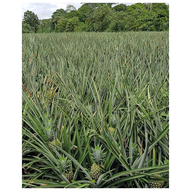 Champ d'ananas Bio au  Costa Rica