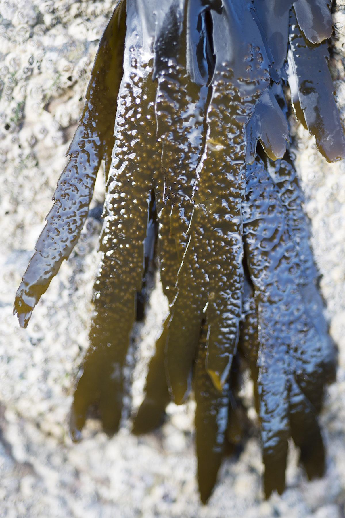 Algues Helvik Head - Failte Iireland